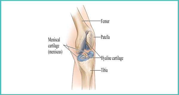 Normal Knee Joint